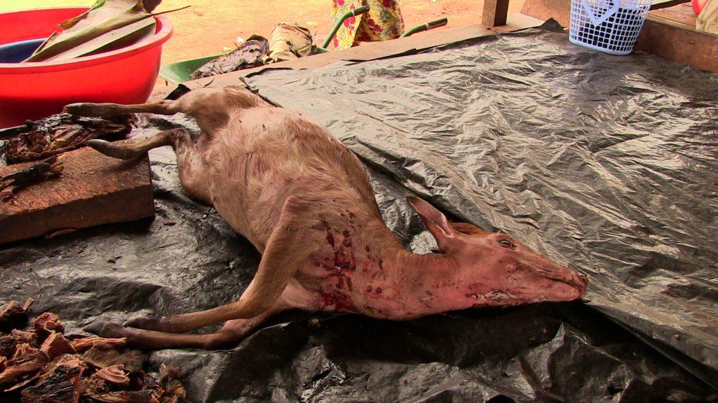 Kongo'da bir et pazarında satılan yabani antilop.